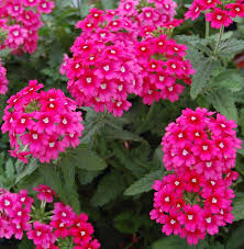 Verbena Flower 24 Best Drought Tolerant Plants That Grow In Lack Of Water