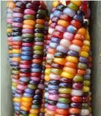 indian corn indian corn seeds reimer seeds vegetable seeds