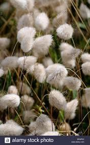 lagurus ovatus hares bunny grass panicle inflorescence