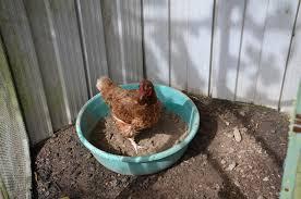 chooks and dust bathing my productive backyard learn to grow