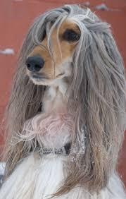banana joe affenpinscher pedigree 35 best afghan hounds images on pinterest afghans afghan hound