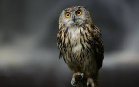 free owl wallpaper images download