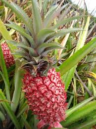 203 best all about pineapples images on gardening