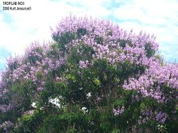 lagerstroemia speciosa l queen u0027s flower