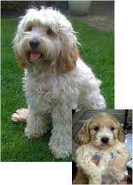 haircutsfordogs poodlemix best 25 cockapoo ideas on pinterest cavoodle dog small
