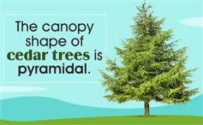 cedar tree facts