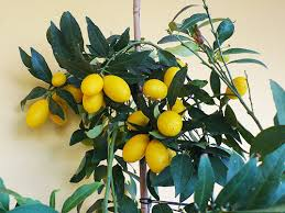 decorative lemon trees portugal resident
