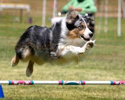 australian shepherd agility dogbreedz photo keywords australian shepherd professional pet