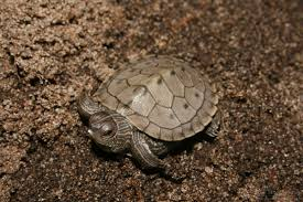 Ringed Map Turtle Tortoises Pictures Posters News And Videos On Your Pursuit