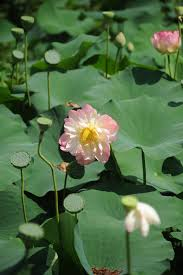 australian native aquatic plants the origin of the hamilton harbour lotus garden opinion