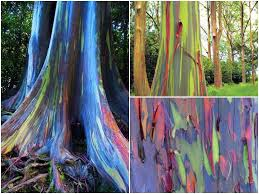 Rainbow Eucalyptus The Beautiful Rainbow Eucalyptus U2026 It Is What It Is