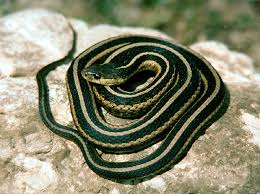 How To Find Snakes In Your Backyard Snake Control Snake Poison
