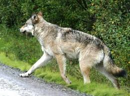 New Hampshire wild animals images Have wolves returned to new hampshire jpg