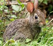 How Do I Get Rid Of Rabbits In My Backyard Tips For Repelling Rabbits Repel Rabbits Keep Rabbits From
