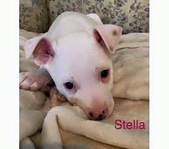 american eskimo dog jack russell mix blue bell pa jack russell terrier meet stella a dog for adoption