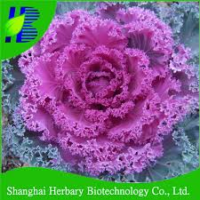 garden scenery flower ornamental cabbage seed buy cabbage seed