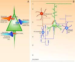 chandelier cells schematic summary of cortical gaba circuits describing the