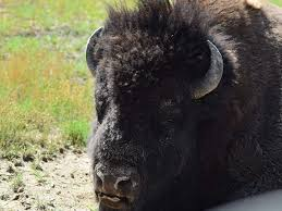 Wyoming wildlife tours images The wyoming guide company yellowstone guided tours jpg
