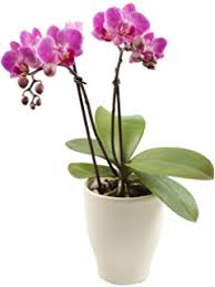orchid pictures color orchids 5 white phalaenopsis orchid in ceramic