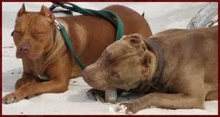 american pit bull terrier history aj u0027s reds breeding red nose american pit bull terriers