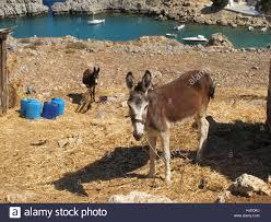 donkeys on backyard of property overlooking lindos bay in rhodes