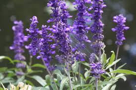 flowers denver purple flowers denver zoo along the graybeard trail