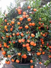 compare prices on small orange tree shopping buy