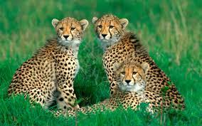youwall cheetah family