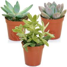 gardenersdream succulent mixed house plants x 3 gardenersdream