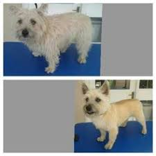 cairn terrier haircuts cairn terrier after grooming this is a great cut for or tiki