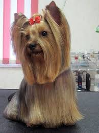 stunning yorkie hair cuts 84 best yorkie images on pinterest pets yorkie and yorkies