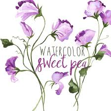 sweet pea flowers watercolor sweet pea floral border graphics floral
