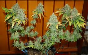 chocolope kush dna genetics seeds strainreview indoor