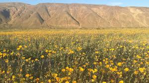 anza borrego super bloom 2017 desert bloom at anza borrego desert state park nbc 7 san diego