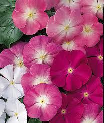 vinca flowers vinca seeds grow sun annual flowers at burpee