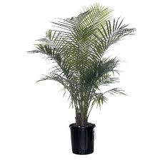 Common Tropical House Plants - house plants tropical plants rona