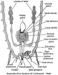 morphology anatomy cockroach biology4isc