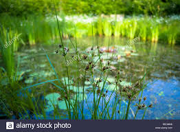 garden wildlife pond with marginal plants and ornamental grasses