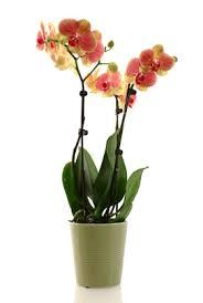 orchids care caring for phalaenopsis orchids fiori idea immagine