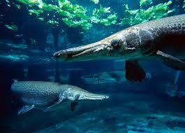 alligator gar wallpapers u0026 pics animals library