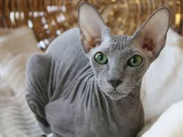 Super Peterbald, o gato sem pêlo - Jardiland Portugal | Jardiland Portugal @VT59
