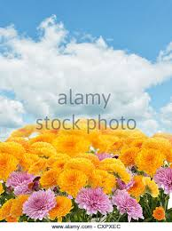 mums flower stock photos u0026 mums flower stock images alamy