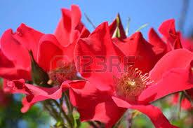 Fragrant Flowers Flowers Of Wild Rose Dog Rose Blossoms Fragrant Flowers Medicinal