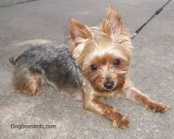 types of yorkie haircuts pictures yorkshire terrier dog breed information and pictures yorkie