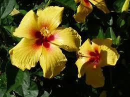 let u0027s go hawaiian u2014official island lei flowers materials lisa u0027s blog