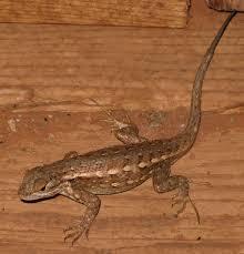 sagebrush lizard wikipedia