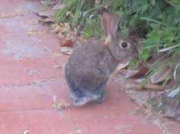 what does it mean when a rabbit crosses your path u2022 soul pursuits