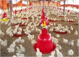 Termometer Kandang Ayam manajemen brooding pada ayam broiler oleh ir zumrotun mp