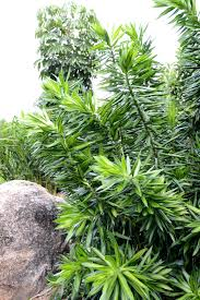 dracaena reflexa song of jamaica