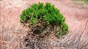 native plants san diego coyote brush baccharis pilularis san diego california youtube